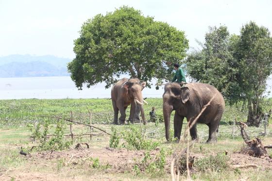 Đã khống chế được voi nhà động dục, quật nài voi tử vong ảnh 6