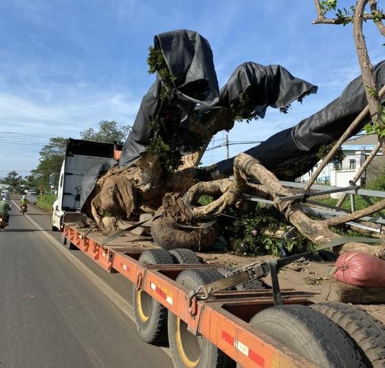 Bắt xe container chở cây cổ thụ 'khủng' không giấy tờ nguồn gốc ảnh 2