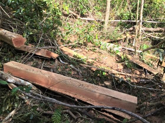 Phát hiện gần 100 cây căm xe bị cưa hạ tại Khu bảo tồn thiên nhiên Ea Sô ảnh 1
