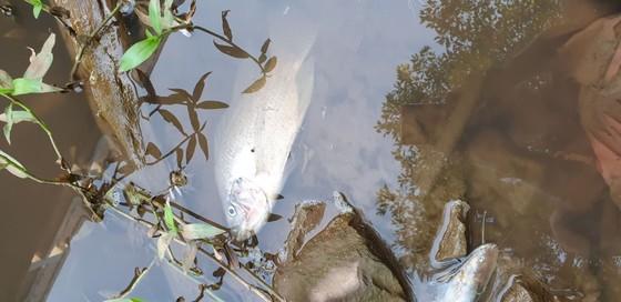 Cá chết hàng loạt vì trang trại heo xả thải ảnh 1