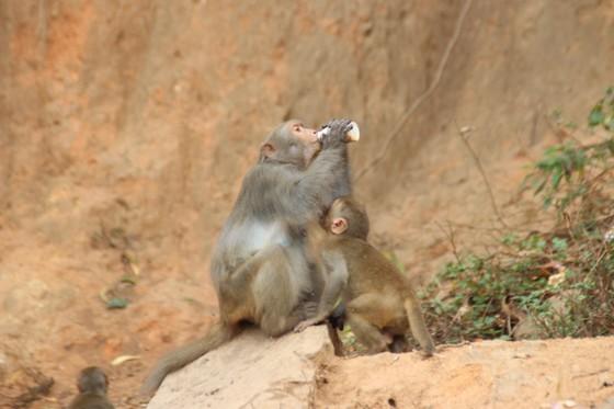 Báo động tình trạng khỉ trên bán đảo Sơn Trà thay đổi tập tính ảnh 3