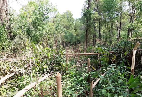 Bỗng dưng bị kẻ gian chặt phá hơn 4.000 cây keo 2 năm tuổi ảnh 1