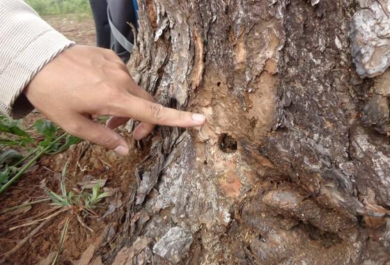 Điều tra đối tượng khoan gốc,  đổ hóa chất đầu độc rừng thông ảnh 1