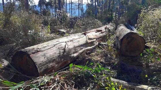"""Vụ đột nhập """"công trường"""" gỗ lậu: Truy tìm người và phương tiện khai thác 7,6m³ gỗ vô chủ ảnh 1"""