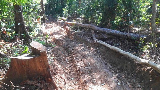 """Vụ đột nhập """"công trường"""" gỗ lậu: Truy tìm người và phương tiện khai thác 7,6m³ gỗ vô chủ ảnh 12"""