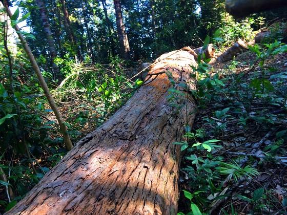 """Vụ đột nhập """"công trường"""" gỗ lậu: Truy tìm người và phương tiện khai thác 7,6m³ gỗ vô chủ ảnh 13"""