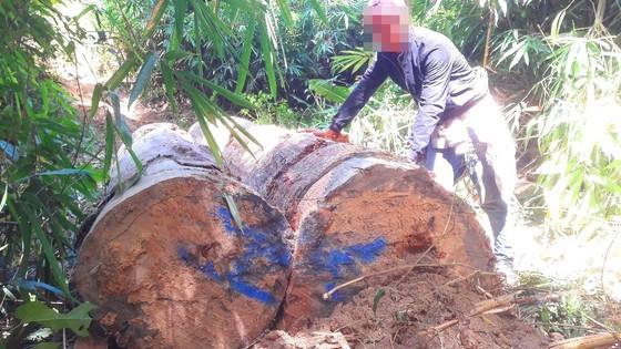 """Vụ đột nhập """"công trường"""" gỗ lậu: Truy tìm người và phương tiện khai thác 7,6m³ gỗ vô chủ ảnh 2"""