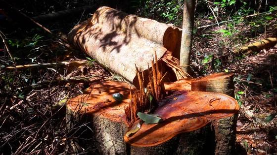 """Vụ đột nhập """"công trường"""" gỗ lậu: Truy tìm người và phương tiện khai thác 7,6m³ gỗ vô chủ ảnh 5"""