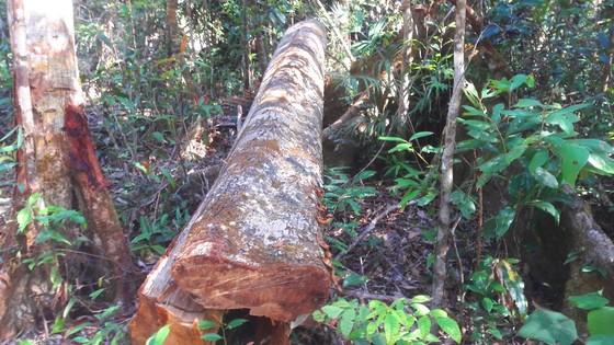 """Vụ đột nhập """"công trường"""" gỗ lậu: Truy tìm người và phương tiện khai thác 7,6m³ gỗ vô chủ ảnh 6"""