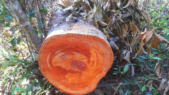 """Vụ đột nhập """"công trường"""" gỗ lậu: Truy tìm người và phương tiện khai thác 7,6m³ gỗ vô chủ ảnh 8"""
