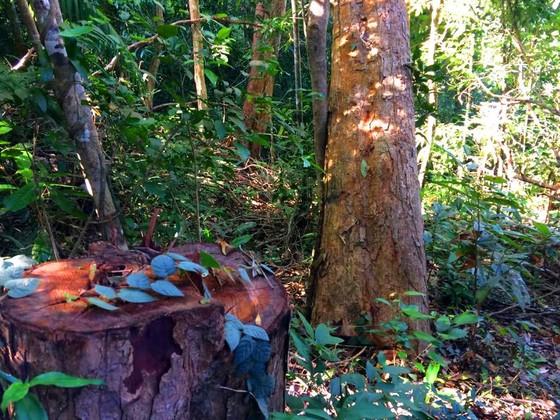 Công an vào cuộc vụ phá rừng Chư Pah ảnh 5