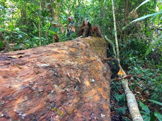 Công an vào cuộc vụ phá rừng Chư Pah ảnh 6