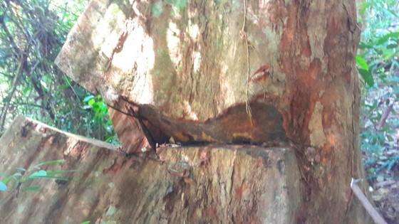 Công an vào cuộc vụ phá rừng Chư Pah ảnh 7