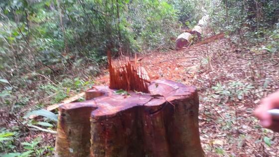 Khiển trách 2 kiểm lâm, cảnh cáo 3 viên chức công ty lâm nghiệp vì để mất rừng ảnh 3