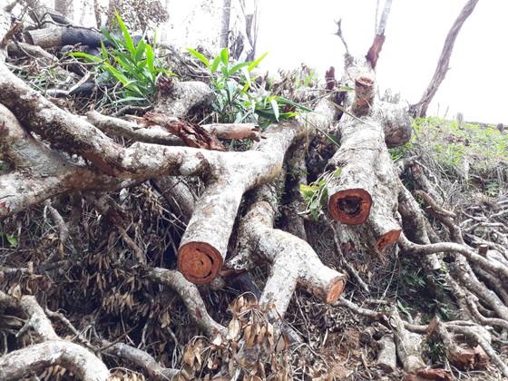 Cận cảnh rừng Kon Plông bị phá nát ảnh 6