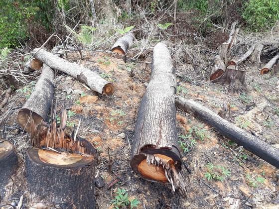 Cận cảnh rừng Kon Plông bị phá nát ảnh 5