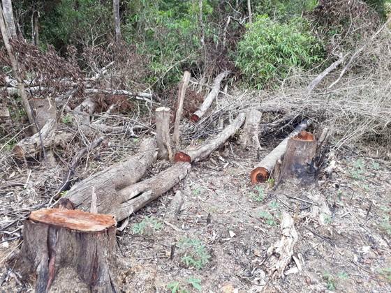 Cận cảnh rừng Kon Plông bị phá nát ảnh 4
