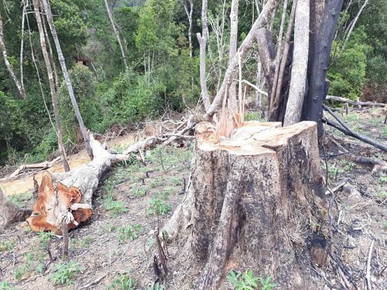 Cận cảnh rừng Kon Plông bị phá nát ảnh 3