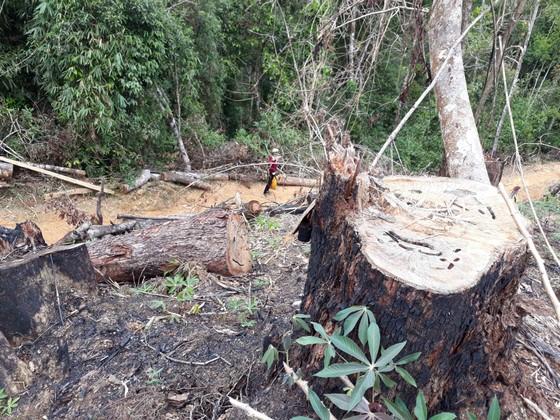 Cận cảnh rừng Kon Plông bị phá nát ảnh 2