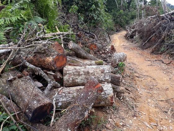Cận cảnh rừng Kon Plông bị phá nát ảnh 12