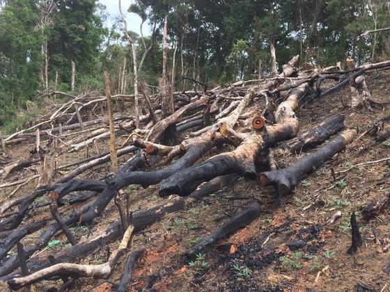 Cận cảnh rừng Kon Plông bị phá nát ảnh 1