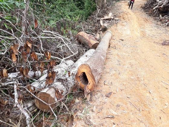 Cận cảnh rừng Kon Plông bị phá nát ảnh 10