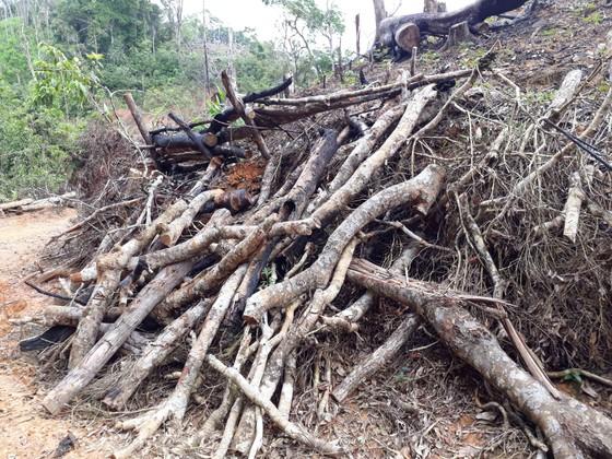 Cận cảnh rừng Kon Plông bị phá nát ảnh 9