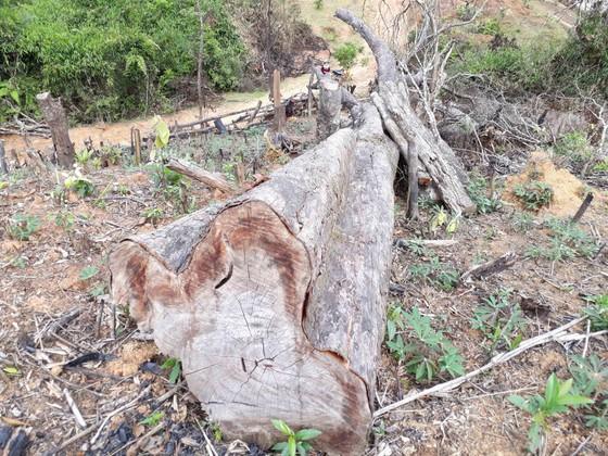 Cận cảnh rừng Kon Plông bị phá nát ảnh 8