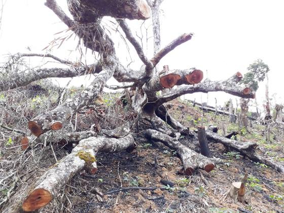 Cận cảnh rừng Kon Plông bị phá nát ảnh 7