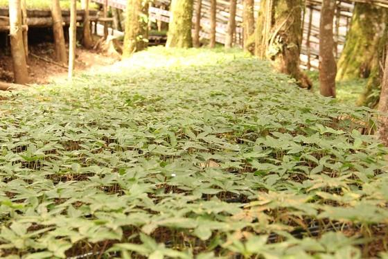 Chiêm ngưỡng vườn sâm ngàn tỷ trên đỉnh Ngọc Linh ảnh 19