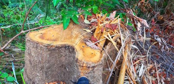 2 trạm bảo vệ rừng chốt 2 đầu, lâm tặc vẫn ngang nhiên phá rừng cổ thụ ảnh 7