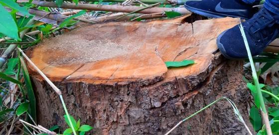 2 trạm bảo vệ rừng chốt 2 đầu, lâm tặc vẫn ngang nhiên phá rừng cổ thụ ảnh 16