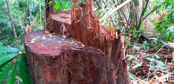 2 trạm bảo vệ rừng chốt 2 đầu, lâm tặc vẫn ngang nhiên phá rừng cổ thụ ảnh 17