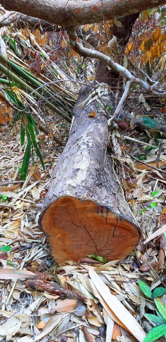 2 trạm bảo vệ rừng chốt 2 đầu, lâm tặc vẫn ngang nhiên phá rừng cổ thụ ảnh 23