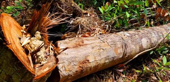 2 trạm bảo vệ rừng chốt 2 đầu, lâm tặc vẫn ngang nhiên phá rừng cổ thụ ảnh 24