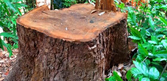 Chi cục Kiểm lâm vùng IV vào cuộc vụ rừng cổ thụ bị phá ở giữa 2 trạm bảo vệ rừng ảnh 2