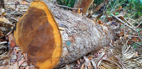 Chi cục Kiểm lâm vùng IV vào cuộc vụ rừng cổ thụ bị phá ở giữa 2 trạm bảo vệ rừng ảnh 1