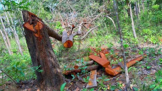 Rừng bị đốn hạ la liệt ở huyện biên giới Chư Prông (Gia Lai) ảnh 4