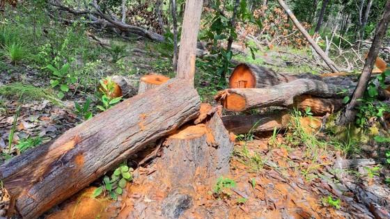 Rừng bị đốn hạ la liệt ở huyện biên giới Chư Prông (Gia Lai) ảnh 5