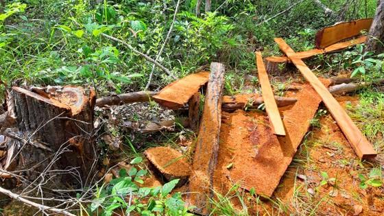 Rừng bị đốn hạ la liệt ở huyện biên giới Chư Prông (Gia Lai) ảnh 7