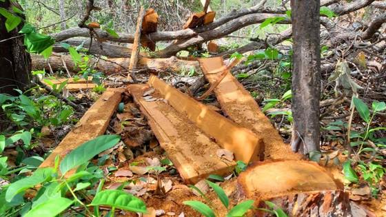 Rừng bị đốn hạ la liệt ở huyện biên giới Chư Prông (Gia Lai) ảnh 8