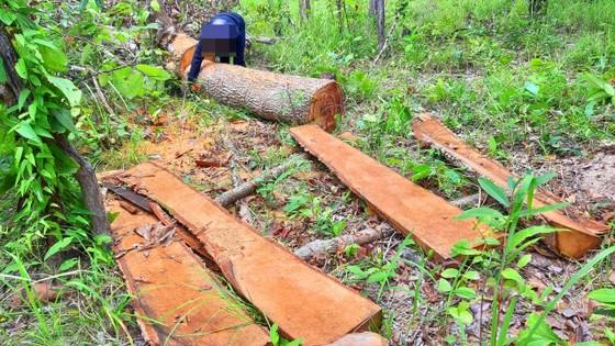 Rừng bị đốn hạ la liệt ở huyện biên giới Chư Prông (Gia Lai) ảnh 9
