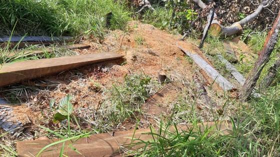 Rừng bị đốn hạ la liệt ở huyện biên giới Chư Prông (Gia Lai) ảnh 2