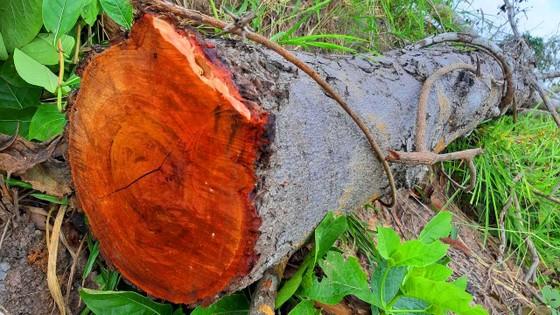 Rừng bị đốn hạ la liệt ở huyện biên giới Chư Prông (Gia Lai) ảnh 11
