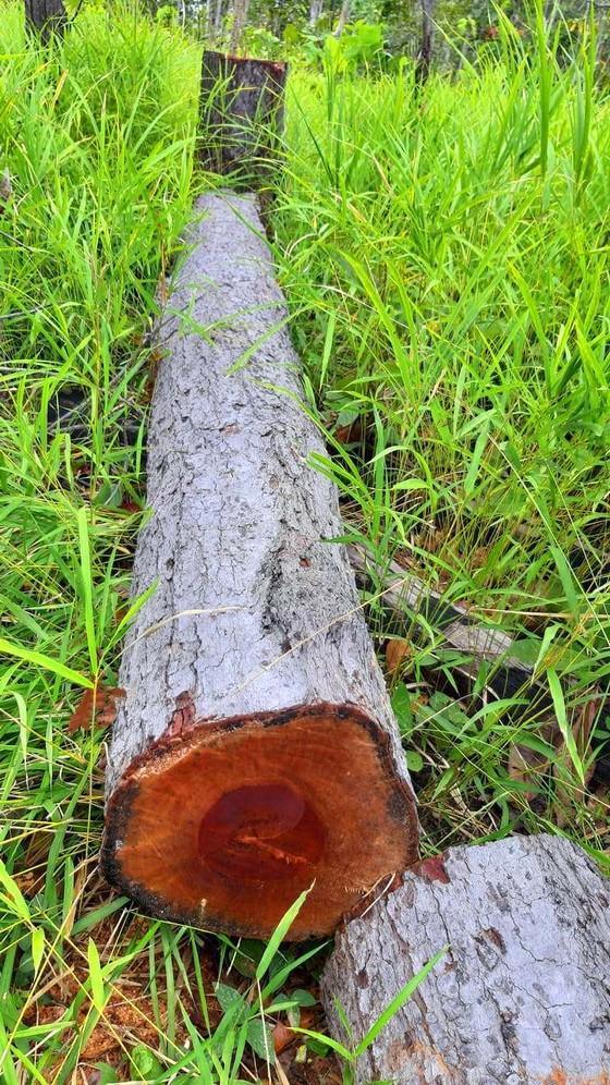 Rừng bị đốn hạ la liệt ở huyện biên giới Chư Prông (Gia Lai) ảnh 13