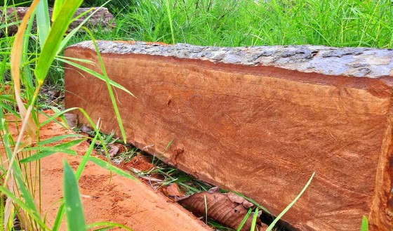 Rừng bị đốn hạ la liệt ở huyện biên giới Chư Prông (Gia Lai) ảnh 1