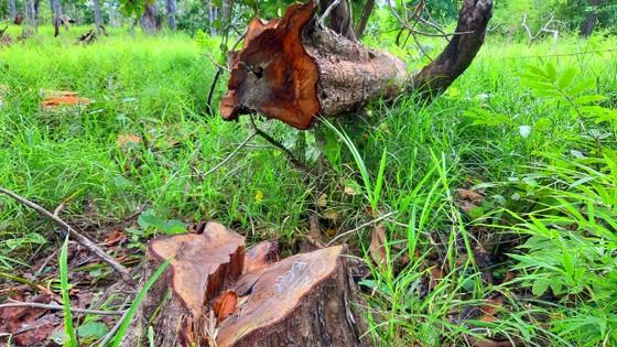 Rừng bị đốn hạ la liệt ở huyện biên giới Chư Prông (Gia Lai) ảnh 15