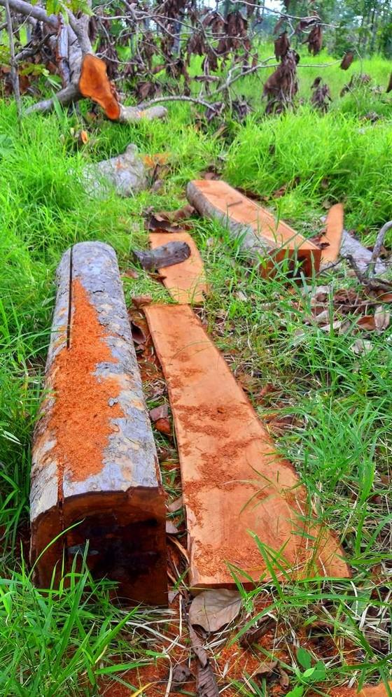 Rừng bị đốn hạ la liệt ở huyện biên giới Chư Prông (Gia Lai) ảnh 16