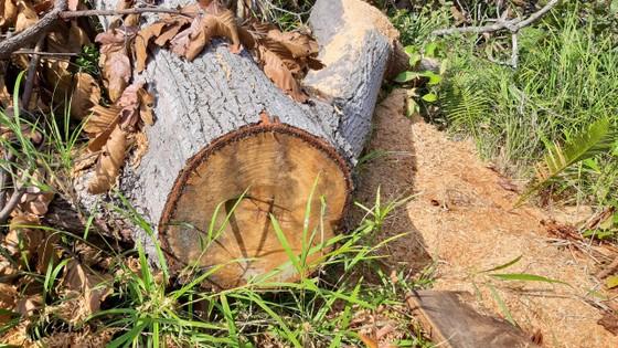 Rừng bị đốn hạ la liệt ở huyện biên giới Chư Prông (Gia Lai) ảnh 3