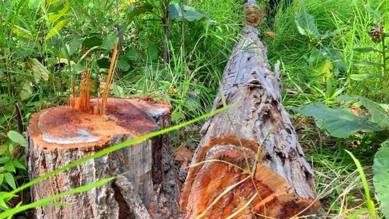 Rừng bị đốn hạ la liệt ở huyện biên giới Chư Prông (Gia Lai) ảnh 18